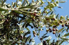 Olive Cima di Melfi, originaria del Vulture, presente in Puglia da oltre 50 anni