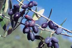Olive Cime di Mola, aggiunge all'olio di oliva un profumo fruttato medio e un gusto piccante