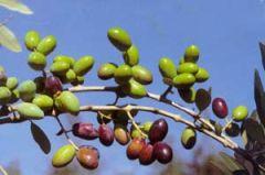 Olive Cima di Nardò, danno all'olio di oliva un gusto fruttato intenso e armonico
