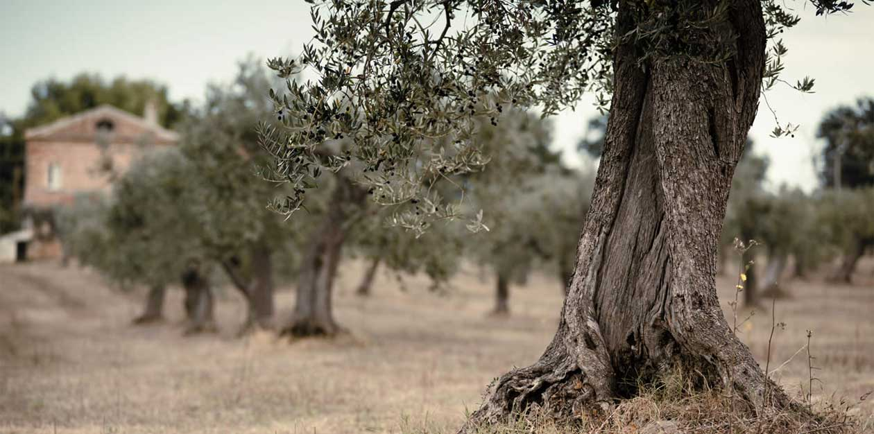 Migliore olio extravergine di oliva in Puglia - Frantoio Pace